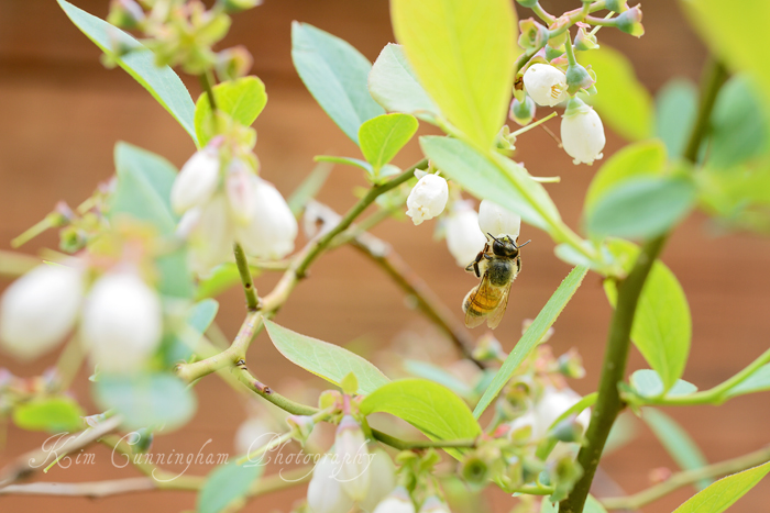 bee on blueberry-web