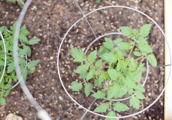 tomato plants-web